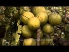 Gooseberry (Ribes uva-crispa)
