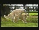 Pene cautivo: Fecundacion canina