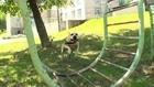 Tret, o famoso cão ucraniano praticante de Parkour